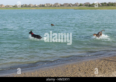Doberman Pinscher and a pit bull mix retrieving fetch toys in a dog park retention pond with an exuberant German - Stock Photo