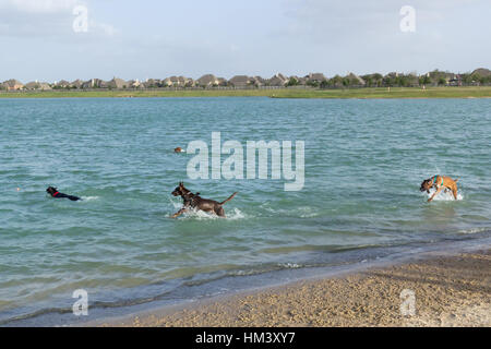 Athletic antics of exuberant mutts in an exciting game of chase and fetch in a dog park retention pond - Stock Photo
