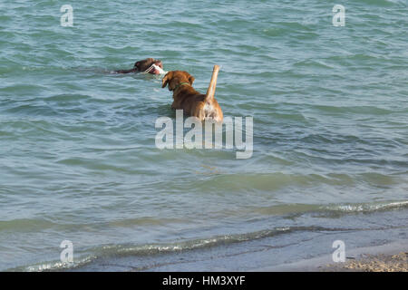 Beagle mix, standing in water with tail to the camera, watches pit bull mix bring white fetch toy ashore at a dog - Stock Photo