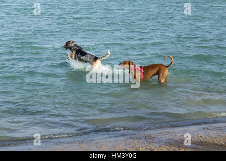 Hound dog leaping and splashing in the water with her mutt pal, a Rhodesian Ridgeback mix, standing behind her. - Stock Photo
