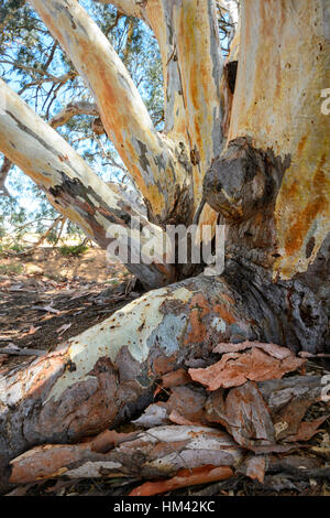 Several hundred years old Giant River Red Gum (Eucalyptus camaldulensis) nicknamed 'The God Tree' at Perry Sandhills, - Stock Photo