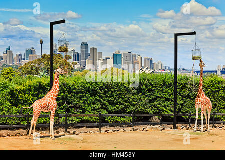 A couple of african giraffes in green park area on shore of Sydney harbour against city CBD landmarks are eating - Stock Photo