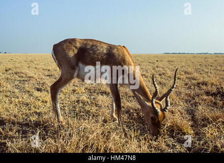 Indian Blackbuck, (Antilope cervicapra),male on grassland plains, Blackbuck National Park,Velavadar,Gujarat,India - Stock Photo