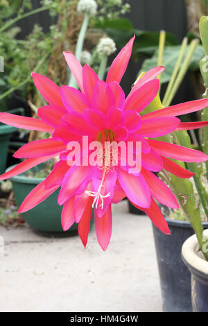 Close up of Epiphyllum ackermannii orchid cactus blooming flowers growing in a pot - Stock Photo