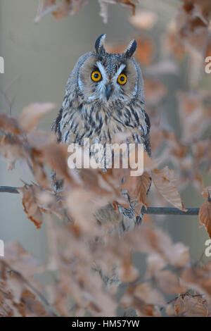Long-eared owl (Asio otus) sitting on autumn coloured beech branch, Bohemian Forest, Czech Republic - Stock Photo