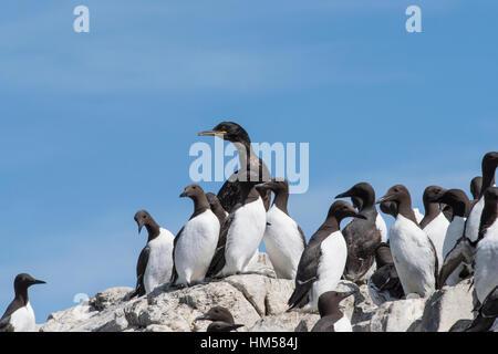 Shag and Guillemots on Staple Island, Farne Islands - Stock Photo