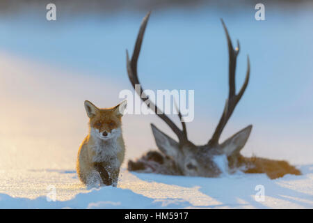 Red fox (Vulpes vulpes), by the carcass of a red deer that fell into the ice, frozen lake, Bohemian Forest, Czech - Stock Photo