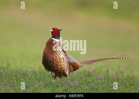 Pheasant (Phasianus colchicus), male in field, Suffolk, England, United Kingdom - Stock Photo