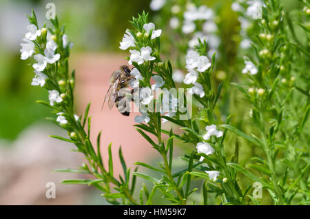Honey bee extracting and collecting nectar from white thyme flowers. European or Western honey bee, Apis mellifera - Stock Photo