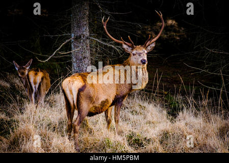 Red Deer Stag in Glen Etive Forest, Highlands of  Scotland in winter - Stock Photo