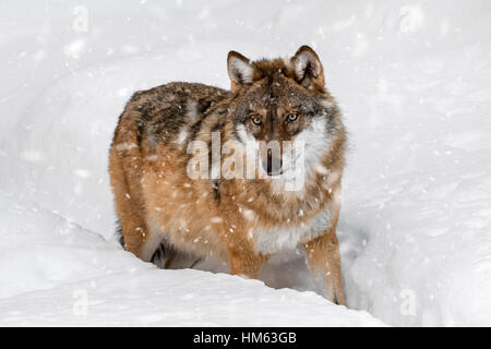Solitary gray wolf / grey wolf (Canis lupus) walking in deep snow in winter during snowfall - Stock Photo