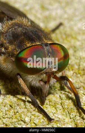 Large Marsh Horsefly - Tabanus autumnalis - Stock Photo