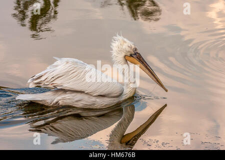 Dalmatian Pelican or Pelecanus crispus - Stock Photo