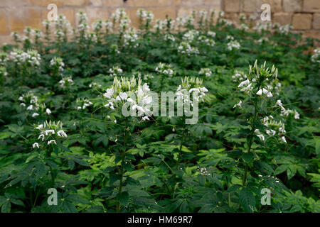 Cleome hassleriana syn spinosa white spider flower flowers flowering bed border display displays RM Floral - Stock Photo
