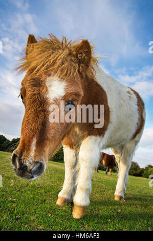 Brown and White Shetland Pony Foal in the New Forest, United Kingdom - Stock Photo