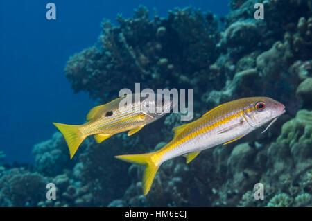 Fish mimicry between Ehrenbergs snapper (Lutjanus ehrenbergi) and Yellowfin goatfish (Mulloidichthys vanicolensis). - Stock Photo