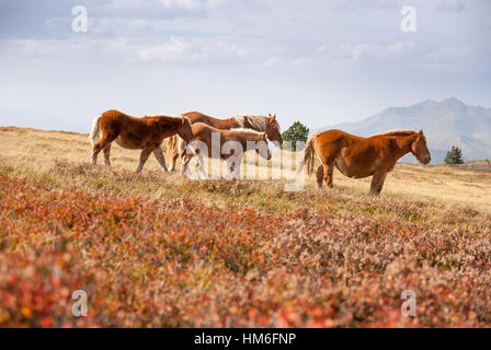 Wild horses grazing on the spain-france border in the pyrenees mountains in autumn, France - Stock Photo
