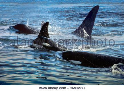 Orca pod near San Juan Island - Stock Photo