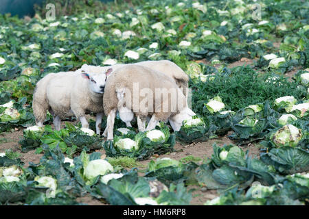 Fattening lambs on cauliflower crop, Lancashire, UK. - Stock Photo