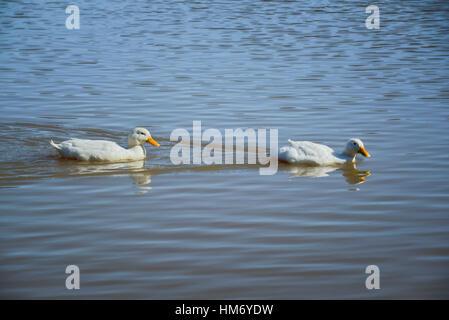 Two American Pekin ducks swimming in lake - Stock Photo