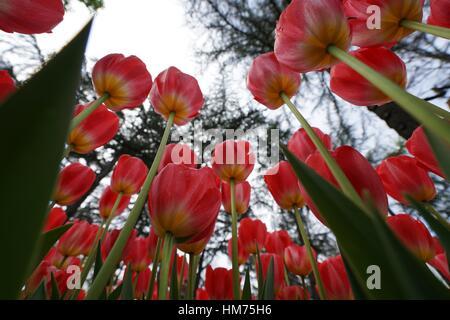 Tulipa cassini. Tulip Festival. Istanbul. Turkey - Stock Photo