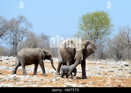 African elephant female protecting and helping her very young calf with her trunk (Loxodonta africana) Etosha National - Stock Photo