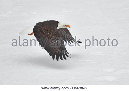 A bald eagle (Haliaeetus leucocephalus) flies low over a snow-covered gravel bar in the Nooksack River in Welcome, - Stock Photo