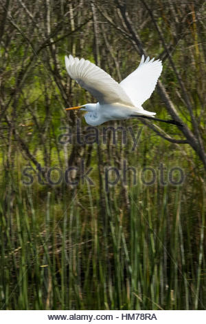 A great egret (Ardea alba) flies over the freshwater marsh of the Ballona Wetlands near Los Angeles, California. The Ballona Wetlands are one of the l Stock Photo