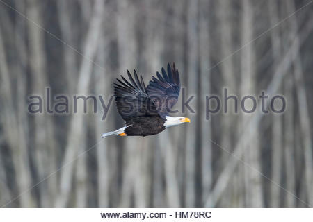 An adult bald eagle (Haliaeetus leucocephalus) flies past bare winter trees along the Nooksack River near Welcome, - Stock Photo
