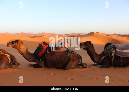 Camel Trek into the deep Sahara. From Marrakech to M'hamid up the great sand dunes and through the Saharan seas - Stock Photo