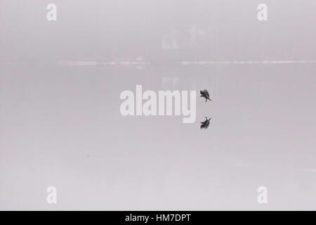 animal,autumn,bird,bird reflection,black,black bird,corone,corvus,crow,europe,fall,fauna,feathers,flight,fly,frozen,frozen - Stock Photo