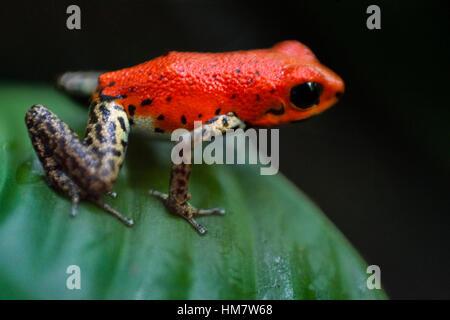 Strawberry Poison Frog (Dendrobates pumilio), adult, Bastimentos National Park, Bocas del Toro, Panama. The strawberry - Stock Photo
