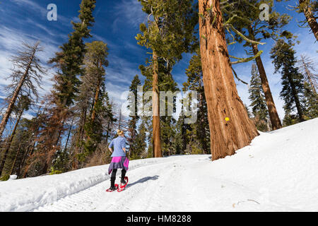 A woman snowshoes along a snow-covered winter trail next to a massive redwood tree in Kings Canyon National Park. - Stock Photo