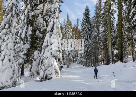 A woman snowshoes along a snow-covered winter trail in Kings Canyon National Park. - Stock Photo