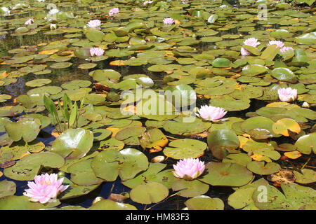 Water lilies growing in a pond in a park near Angers (France). - Stock Photo