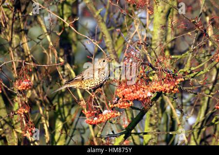 FieldfareTurdus pilaris feeding on the berry's of the Mountain Ash tree Joseph Rock in the winter in England