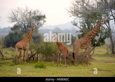 Maasai giraffe (Giraffa camelopardalis tippelskirchi), group with young feeding on acacia bush, Akagera National - Stock Photo