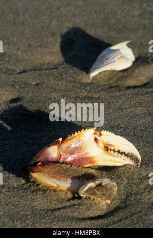 Dungeness crab (Cancer magister) claw, Cape Lookout State Park, Oregon. - Stock Photo