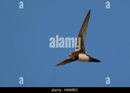 Alpine swift (Tachymarptis melba), Crete - Stock Photo