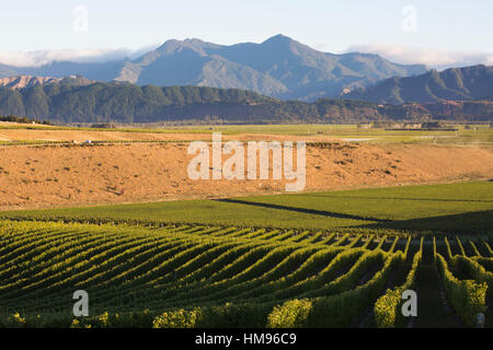 View over typical vineyard in the Wairau Valley, early morning, Renwick, near Blenheim, Marlborough, South Island, - Stock Photo