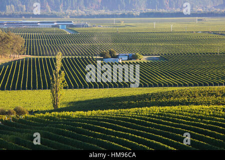 View over typical vineyards in the Wairau Valley, early morning, Renwick, near Blenheim, Marlborough, South Island, - Stock Photo