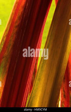 Stunning rainbow chard stocks up close on a leaf backround - Stock Photo