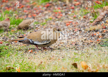 White-winged Dove,Zenaida asiatica, foraging on the ground in Oklahoma, USA. - Stock Photo