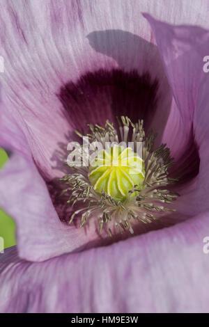 Schlaf-Mohn, Schlafmohn, Mohn, Papaver somniferum, Opium Poppy - Stock Photo
