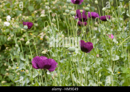 Schlafmohn, Schlaf-Mohn, Mohn, Papaver somniferum, Opium Poppy - Stock Photo