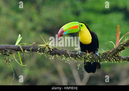 Keel- Billed Toucan in Costa Rica tropical Rain forest - Stock Photo