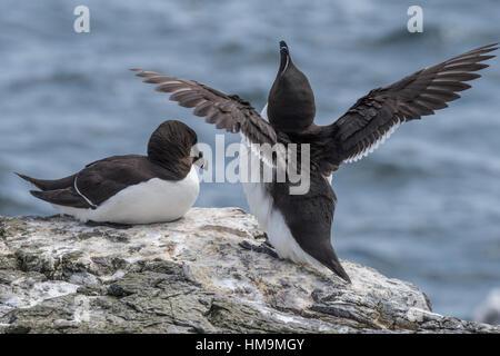 Razorbills courting, Alca torda - Stock Photo