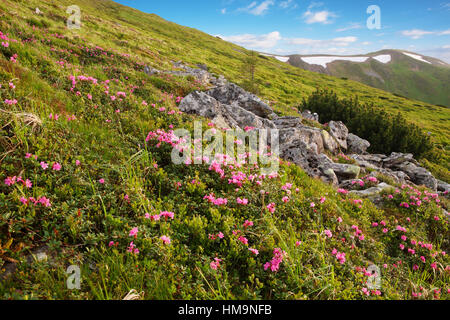 The slopes of the mountains covered with blooming rhododendrons. Carpathians.