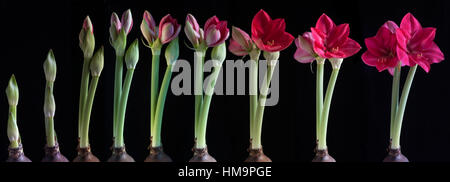 Growth stages of a Amaryllis (Amaryllis) against a black background - Stock Photo