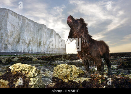 Birling Gap, East Sussex. 2nd February 2017. Wet cocker spaniel, Fudge, at sunrise below the cliffs at Birling Gap, - Stock Photo